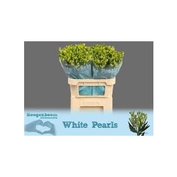 Flor White Pearl