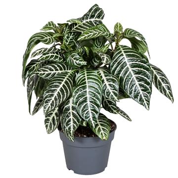 Botanica Aphelandra  Green