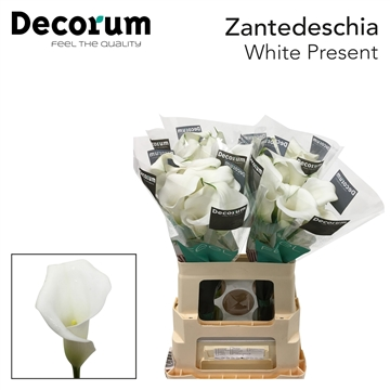 Zantedeschia White Present.