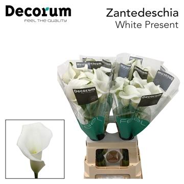 Zantedeschia White Present