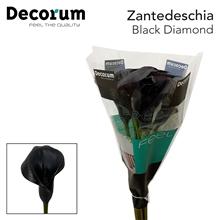 Zantedeschia Black Diamond