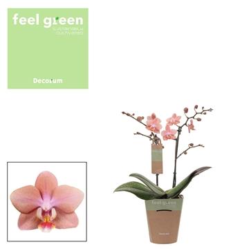 Phal. Odorion - 2 spike 12cm Feel Green