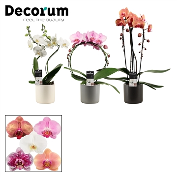 Phalaenopsis vormen mix 2 tak in Handsome (Decorum)