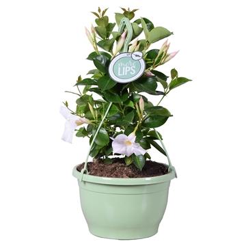 MoreLIPS® Dipladenia Sundaville Wit in hangpot