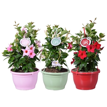 MoreLIPS® Dipladenia Sundaville in hangpot