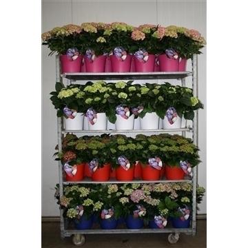 Hydrangea Bol 10 - 15 kop in gekleurde sierpot
