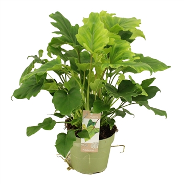 Philodendron Little Hope 15 cm