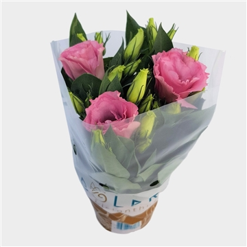 Lisianthus Bolero Juliëtta dubbele bloem