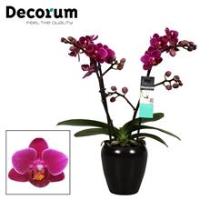 Phalaenopsis  Purple princes 2 tak vertakt Keramiek Decorum