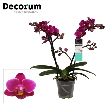 Decorum Purple princes 2 tak vertakt