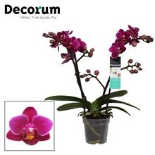 Phalaenopsis  Purple princes 2 tak vertakt Decorum
