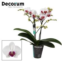 Phalaenopsis Safe Haven 2 tak vertakt Potmaat 9 Decorum