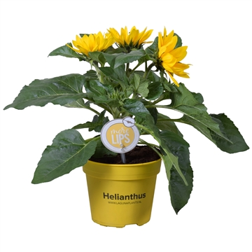 MoreLIPS® Helianthus branched