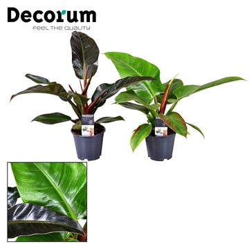 Philodendron mix Imperial Green & Red (Decorum)