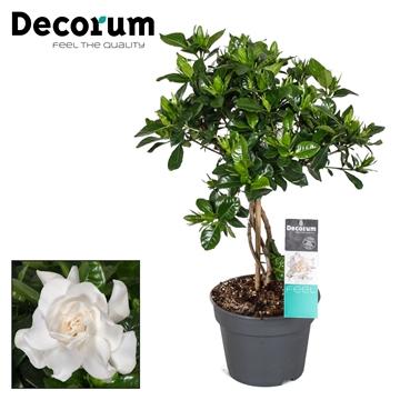 Gardenia 17cm stam