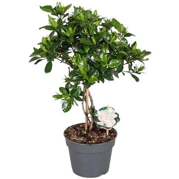 Gardenia 17cm stam R.S.
