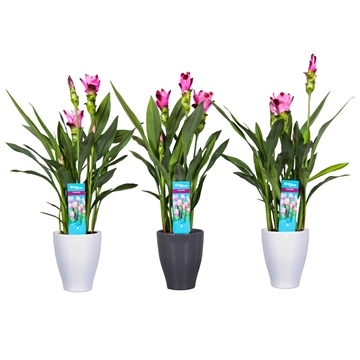 2 flower + Curcuma  Siam Splash in White/Antraciet pot (kopie)