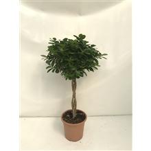 Ficus moclame gevlochten | Trenzado