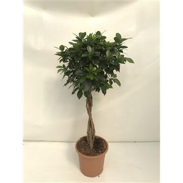 Ficus nitida gevlochten | Trenzado