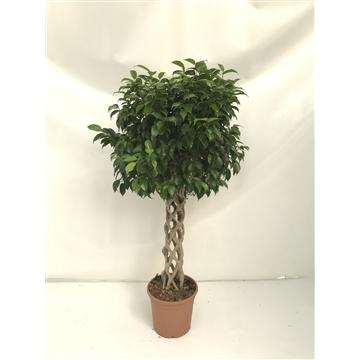 Ficus benjamina Zuil | Columna