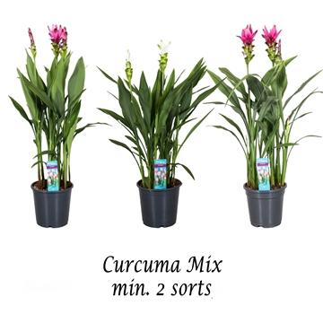 Curcuma  MIX