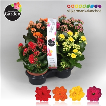 Garden Kalanchoe - Mix In Tray