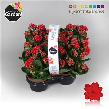 Garden Kalanchoe - Red