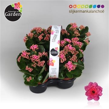 Garden Kalanchoe - Pink