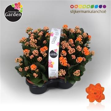 Garden Kalanchoe - Orange