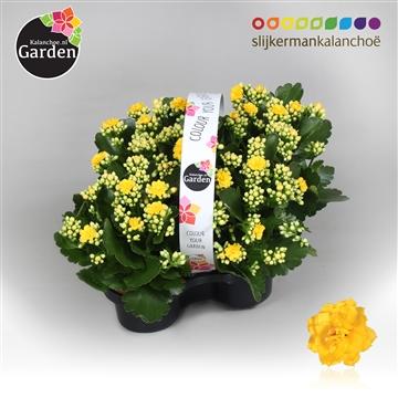 Garden Kalanchoe - Yellow
