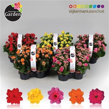 Garden Kalanchoe - Mix Op Laag