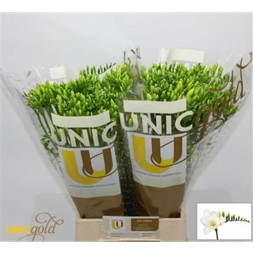 UG Mol - Bellina