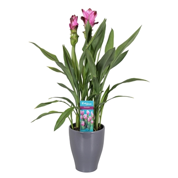 2 flower + Curcuma  Siam Splash in Antraciet pot