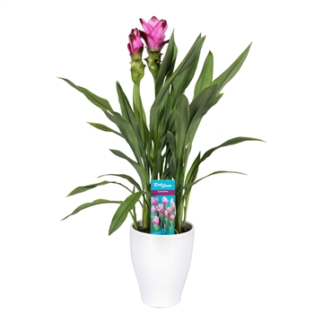 2 flower + Curcuma  Siam Splash in White pot