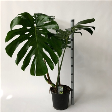 monstera 24cm pot