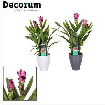 Curcuma pot White/Antraciet