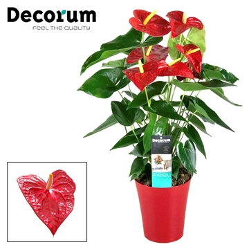 Anthurium Dakota pot 17 incl roodwatersysteem