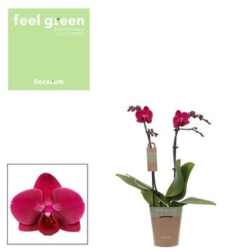 Phal. Brazilian Fever - 2 spike 9cm Feel Green