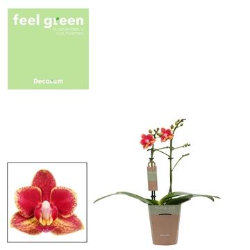 Phal. Bowdion - 2 spike 9cm Feel Green