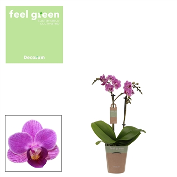 Phal. Violet Queen - 2 spike 9cm Feel Green
