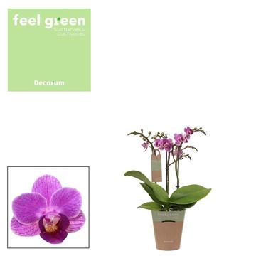 Phal. Violet Queen - 3 spike 9cm Feel Green