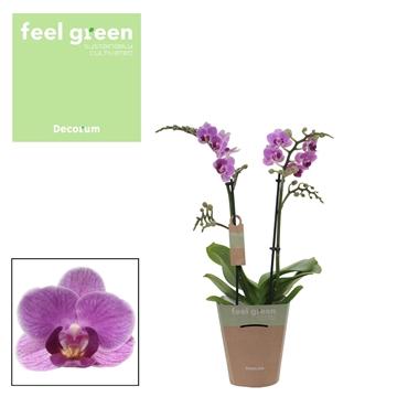 Phal. Violet Queen - 2 spike 12cm Feel Green