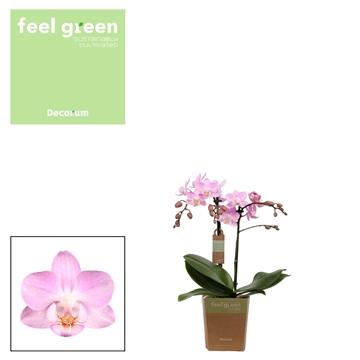 Phal. Sakura - 2 spike 9cm Feel Green