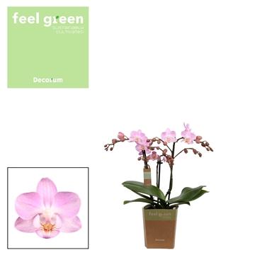 Phal. Sakura - 3 spike 9cm Feel Green