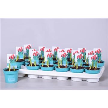 Tulipa Movie Star 'Diamond Collection'