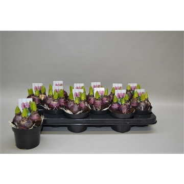Hyacinthus 'Pink Pearl'