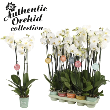 Phal. White - 3 spike 12cm Authentic