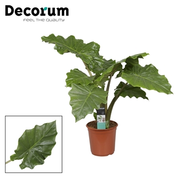 Alocasia Portodora 21c Feel Green