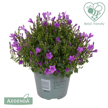 Campanula Ambella® intens purple