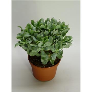 Crassula arborescens subsp. undilatifolia